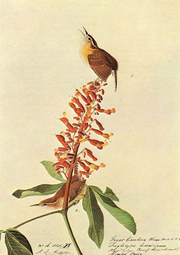 Audubon, John James: Carolina Wren. Ornithology Fine Art Print/Poster. Sizes: A4/A3/A2/A1 (001114)